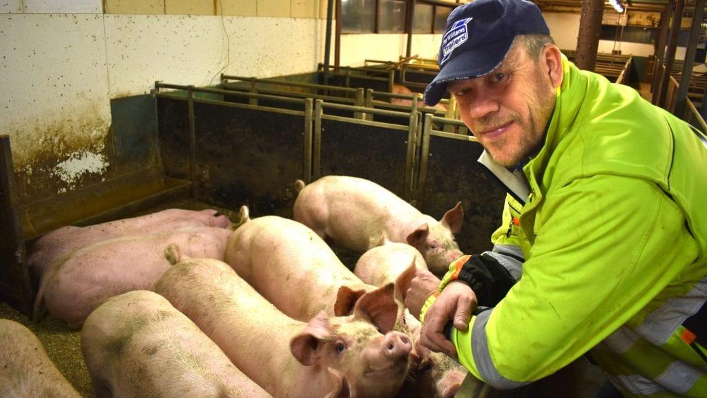 STOR PRODUSENT: Jon Roger Neslund driver stort med gris, og er eneste produsent mellom Stai og Trøndelag. Foto: Torstein Sagbakken
