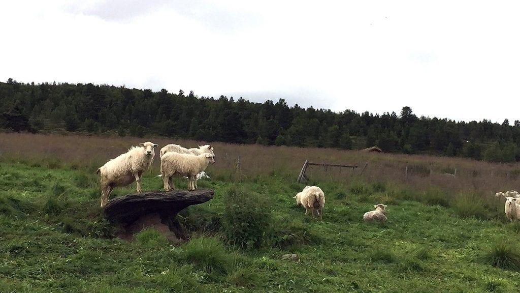 GODT SAUEHOLD: Landbrukskontoret inviterer til møte om godt sauehold tirsdag. Illustrasjonsfoto: Tore Rasmussen Steien
